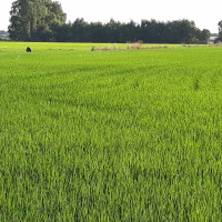 Ogni anno la natura ( e il duro lavoro dei nostri agricoltori) ci regalano il nostro riso.  #risodellasardegna #risaie #sardinia #oristano
